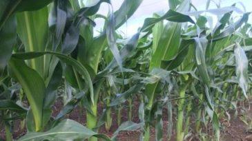 La lluvia interrumpió el avance del maíz